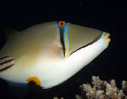 Picasso triggerfish taken with very fast shutter speed ta... by Nikki Van Veelen 